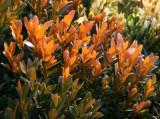 Boxwood Foliage