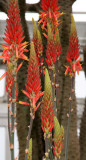 Kniphofia - Torch or Red Hot Poker Flower