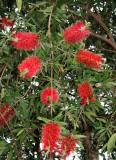 Bottle Brush Tree Flowers