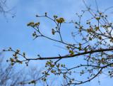 Dogwood Blossom Buds