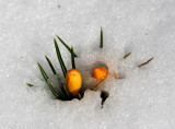 Crocus Flower Buds Emerging from the Snow