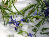 Reticulated Iris in the Snow