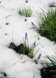 Crocus Flower Buds in the Snow