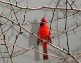 Cardinal in a Hawthorne Tree