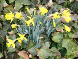 Daffodils & Ivy