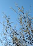 Cornus Dogwood Blossom Buds