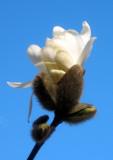Magnolia Bud Unfolding