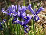 Reticulated Iris