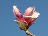 Tulip Tree Budding Blossom