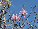 Magnolia Budding Blossoms