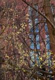 Cornus Cherry Dogwood