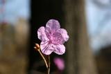 Early Azalea Blossom