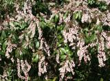 Pieris - Brooklyn Botanical Gardens