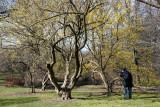 Cornus Cherry Dogwood Trees
