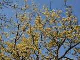 Cornus Cherry Dogwood Tree Blossoms