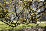 Caretaker's Home? - Cornus Dogwood in Bloom