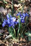 Reticulated Iris