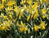 Daffodils - Brooklyn Botanical Gardens