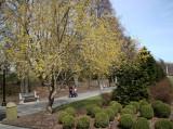 Cornus Cherry Dogwood - Garden View