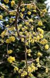 Cornus Cherry Dogwood Blossoms