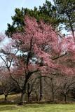 Early Bloomer Cherry Tree
