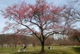 Cherry Trees - Brooklyn Botanical Gardens