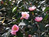 Camelias - Brooklyn Botanical Gardens