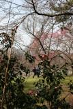 Garden View - Camelia & Cherry Tree