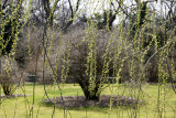 New Foliage - Weeping Willow