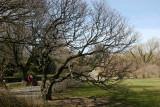 Cornus Cherry Dogwood Tree