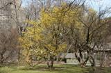 Dogwood Cornus Cherry - Brooklyn Botanical Gardens