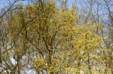 Pond Reflection of Flowering Cornus Cherry Dogwood