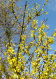 Forsythia & Pussy Willow Tree