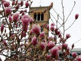 Tulip Tree Blossoms & Judson Church Bell Tower