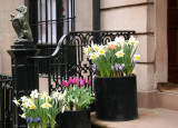 Stoop Garden - Daffodils, Tulips & Crocuses