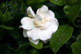 Gardenia after an April Rain Shower
