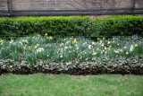 Grace Church Daffodil Garden