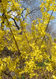 Forsythia Thicket & Locust Trees