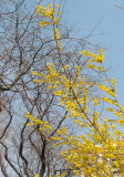Forsythia & Locust Trees