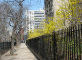 Forsythia Fence - North View of LaGuardia Place