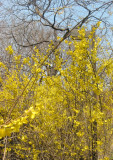 Forsythia and Locust Trees