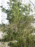 Pine Tree & New Weeping Willow Foliage