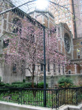 Magnolia Tree Blossoms at St Batholomew's Church