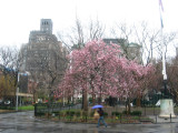 Magnolia Trees in a Heavy April Shower