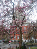 Magnolia Tulip Tree at Washington Square North