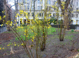 Forsythia & NYU Main Building