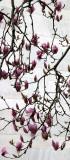 Tulip Tree Magnolias