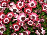 Pericallis - Brooklyn Botanical Gardens
