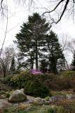 Connifers - Brooklyn Botanical Gardens