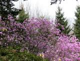 Rock Garden - Azalea
